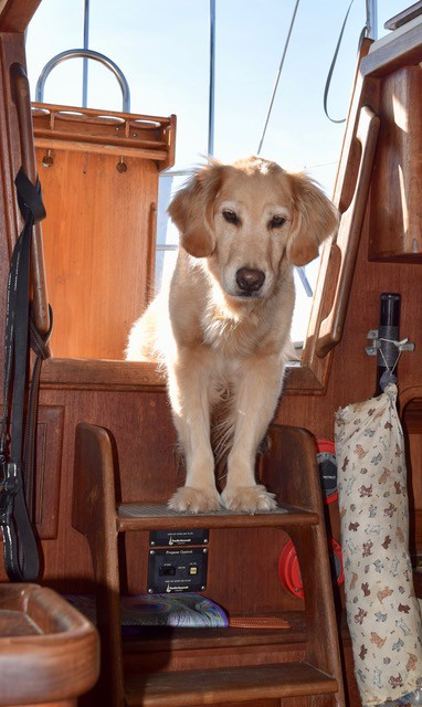 Wondering how to go cruising with a big dog? What can you do to make it easier? Answers here from Pamela Douglas Webster, who cruises with Honey, a golden retriever.
